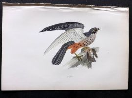 Morris 1897 Antique Hand Col Bird Print. Hobby